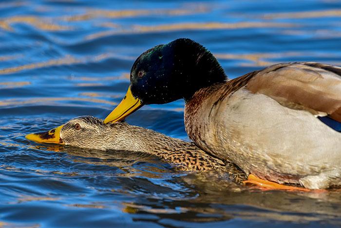 how do ducks mate