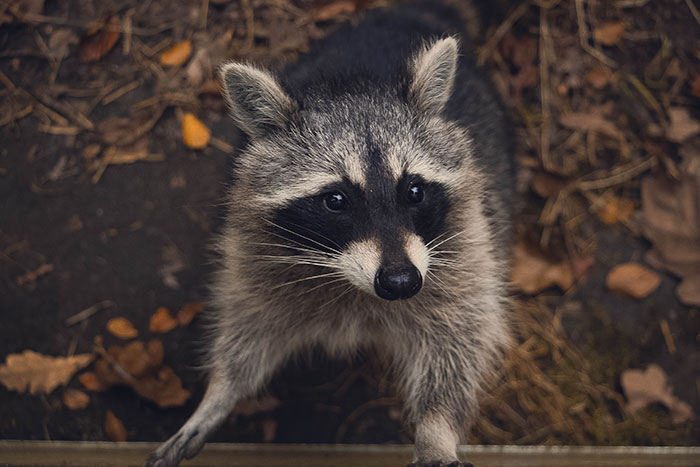 How Smart Are Raccoons