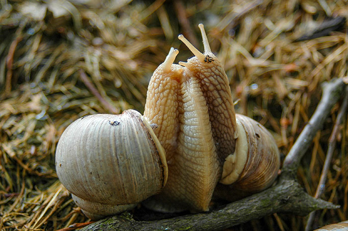 how do snails mate
