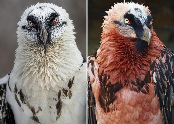 bearded vultures wear makeup