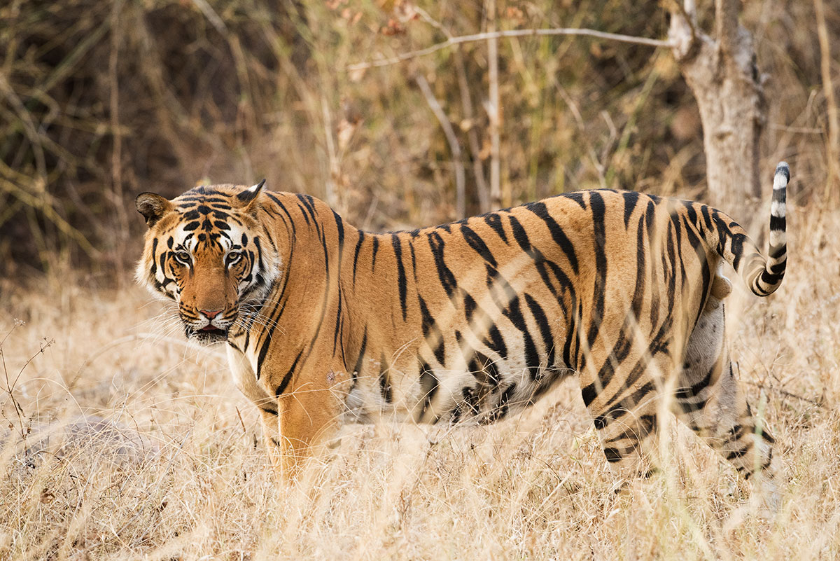 why do tigers live alone