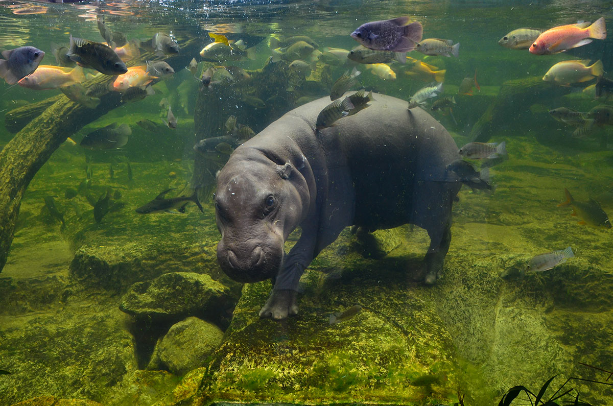 why hippos cant swims