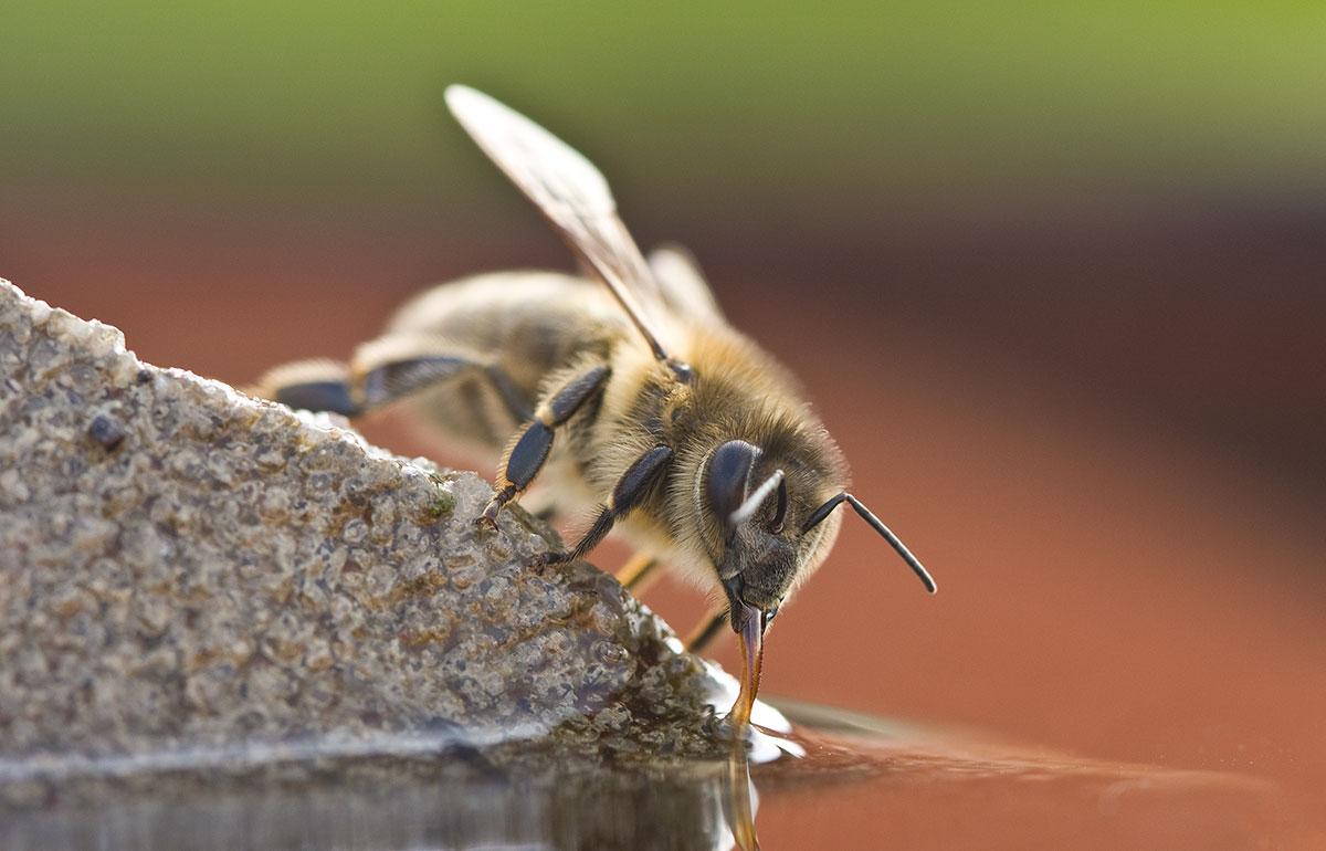 drunk bee