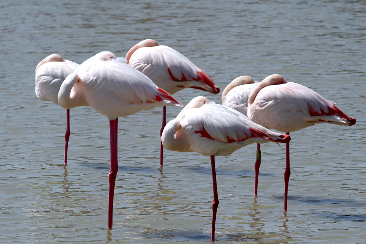flamingos sleeping
