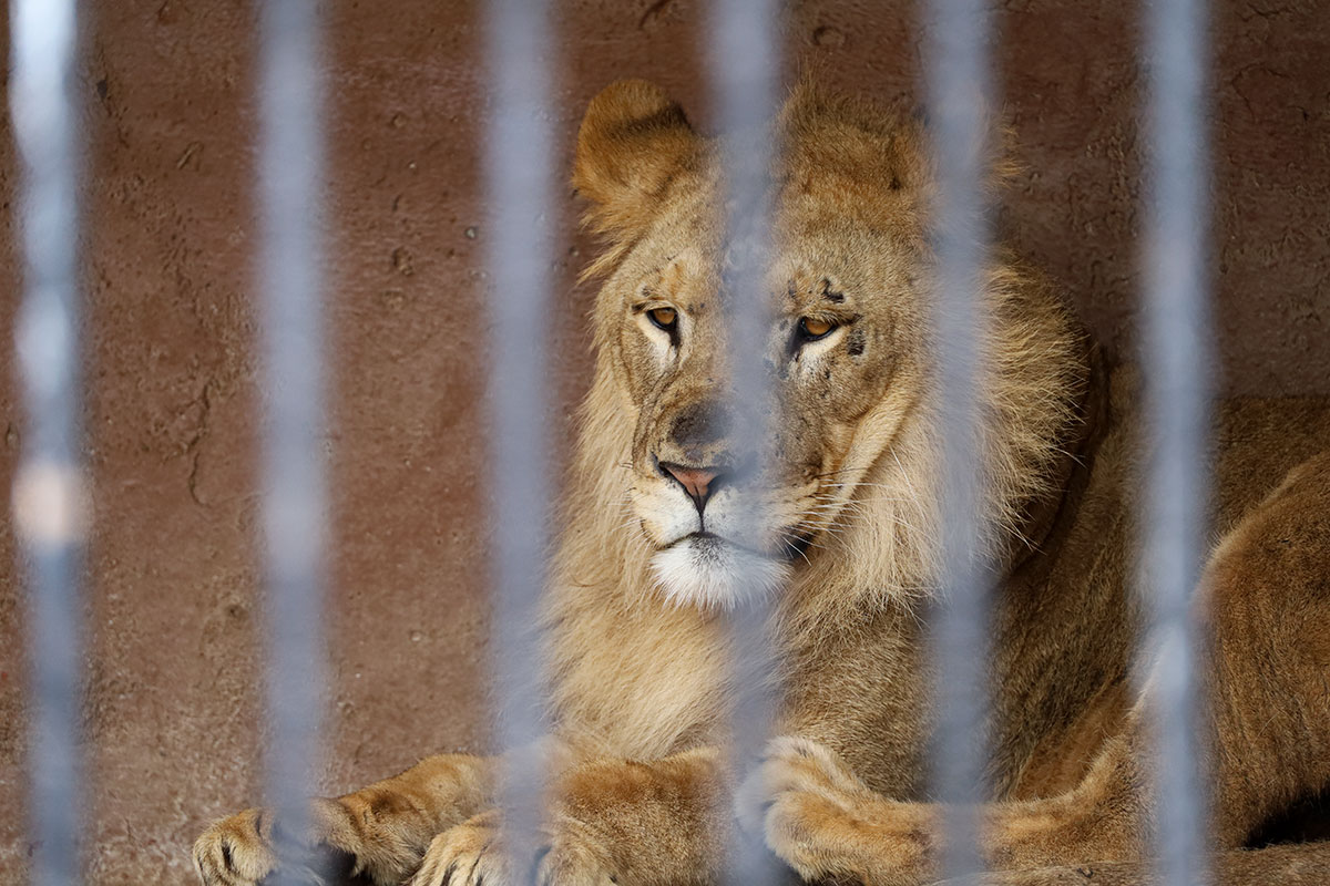 how long do lions live in captivity