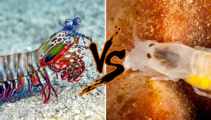 mantis shrimp vs pistol shrimp
