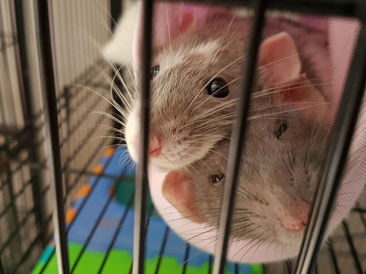 rats harm aversion