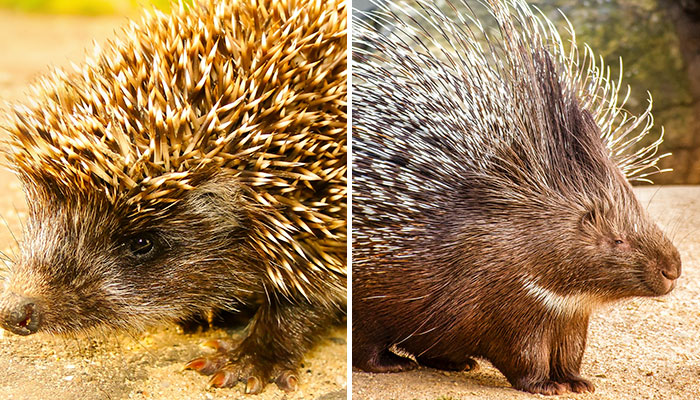Hedgehog vs Porcupine