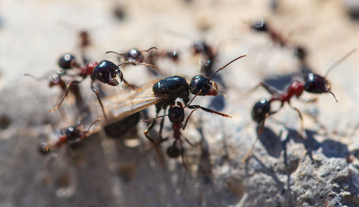 queen ant facts