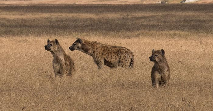 wolf vs hyena