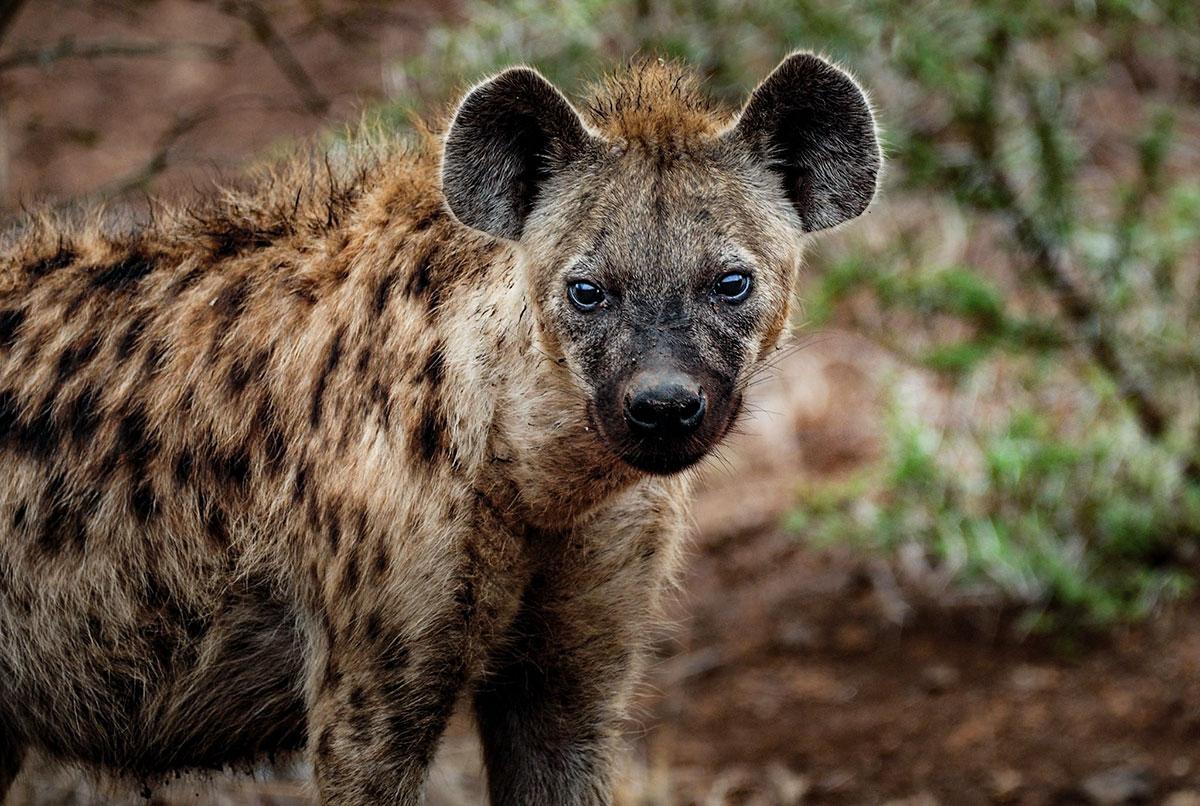 honey badger vs hyena