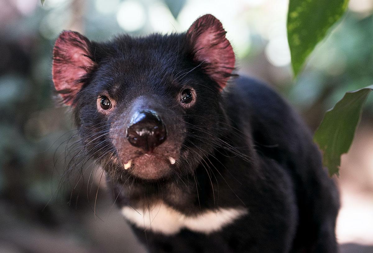 honey badger vs tasmanian devil