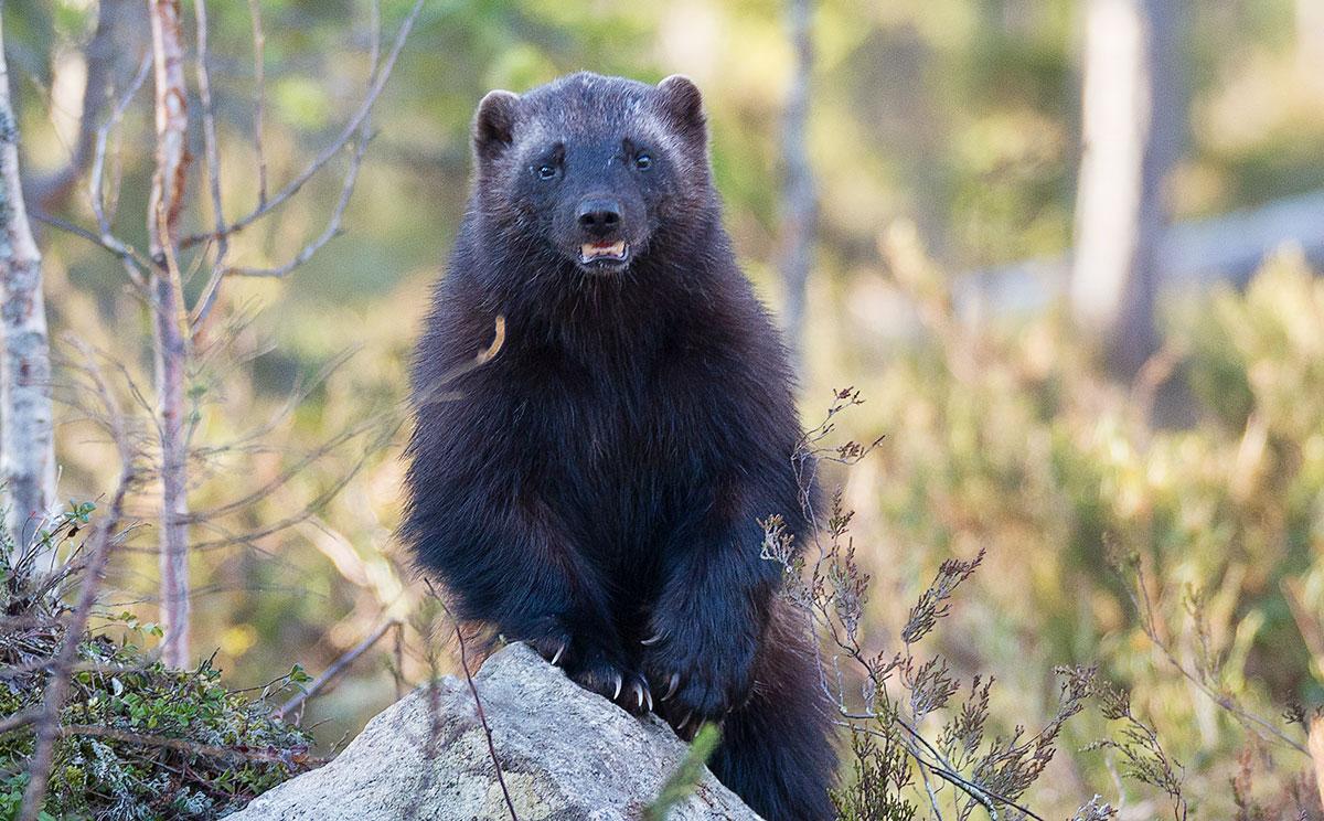honey badger vs wolverine