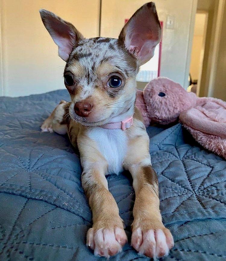 Merle Chihuahuas