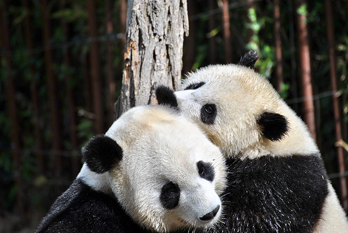 why are pandas bad at mating
