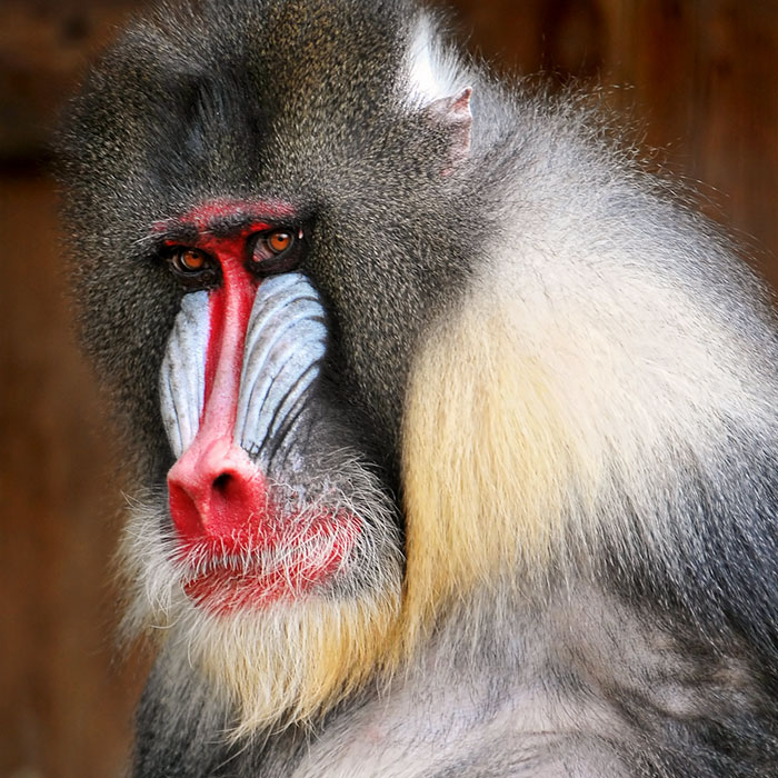 why do mandrills have colorful faces