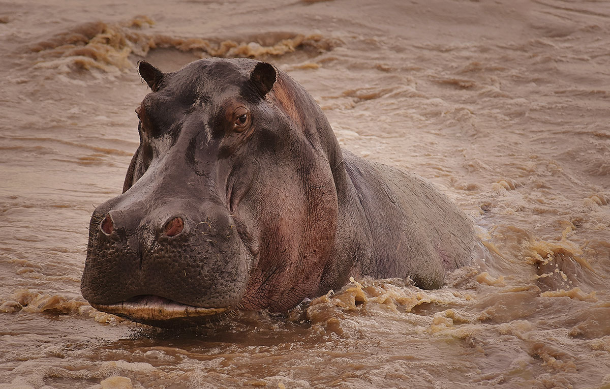 do hippos have predators