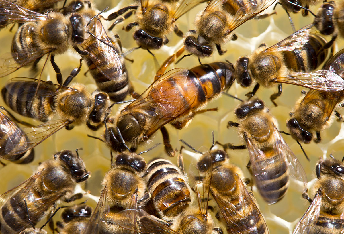 why do bees kill their queen