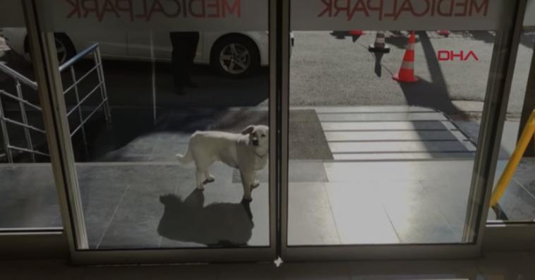 loyal dog waits outside hospital