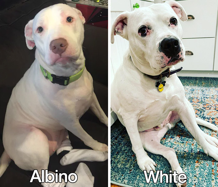 albino vs white pit bull