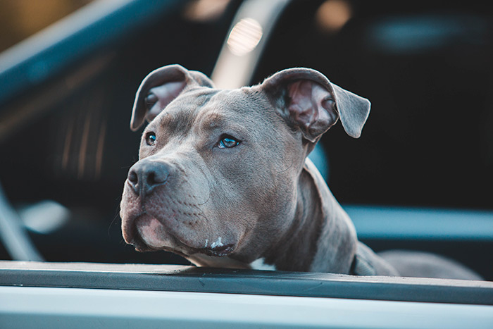 do pitbull attack their owners
