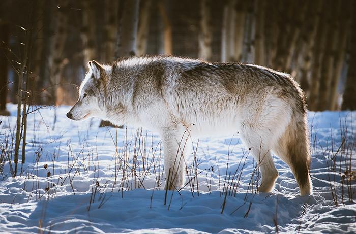 hyena vs wolf