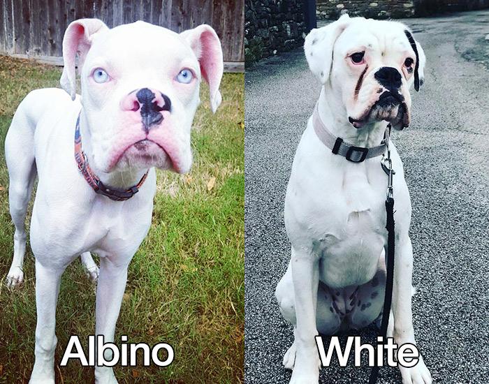 albino boxers vs white boxers