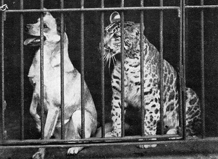 Pumapards